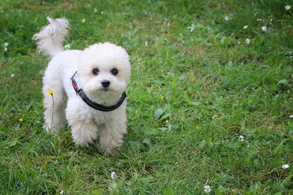 Lo Primero Que Debes Saber Acerca De Un Caniche Toy