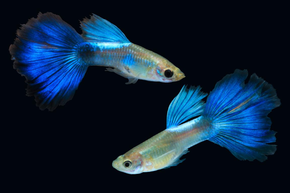 C mo criar guppys tips y consejos for Cria de peces en cautiverio